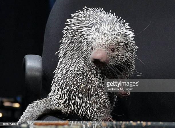 Porcupine on display during the PBS portion of the 2010 Summer TCA Press Tour at the Beverly Hilton Hotel on August 5 2010 in Beverly Hills California