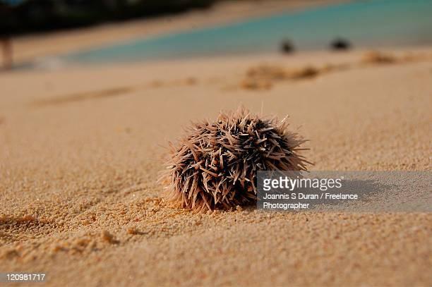 Porcupine on sand