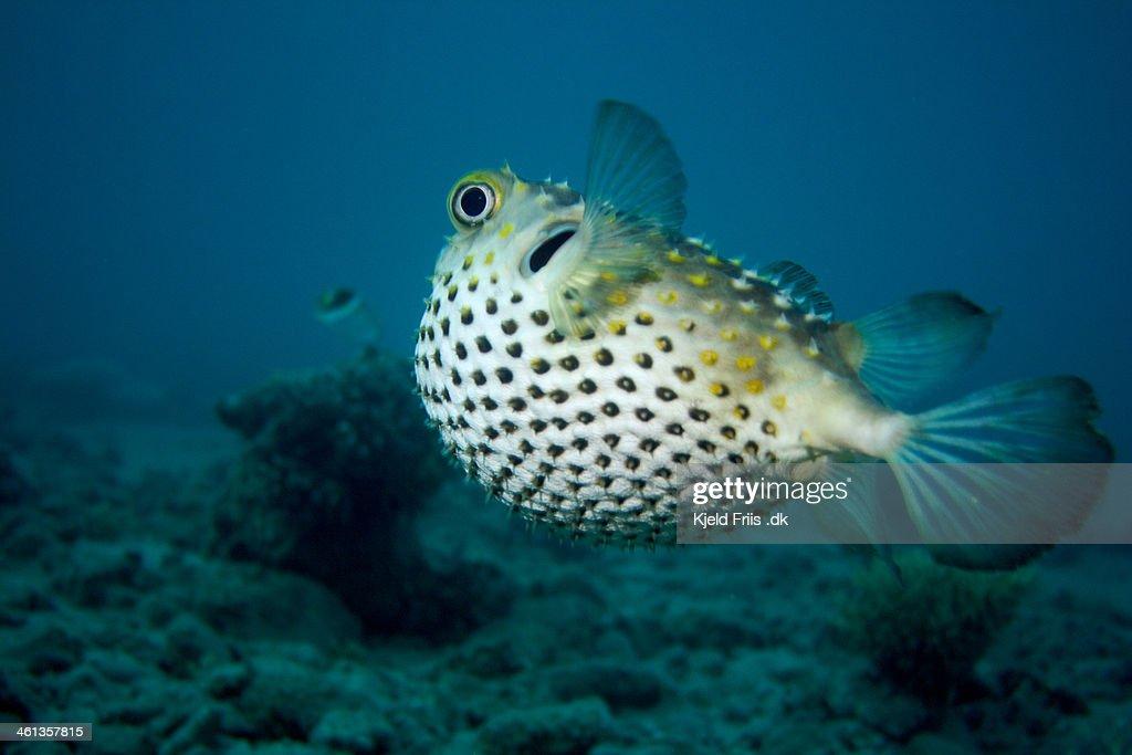 Porcupine Pufferfish swimming away