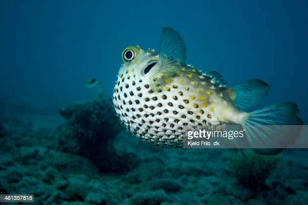 Porcupine Pufferfish swimming away