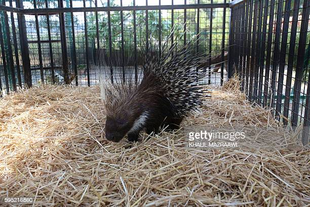 A porcupine sits inside it's enclosure at the New Hope Centre an animal refuge near Amman on August 25 upon their arrival after being evacuated from...