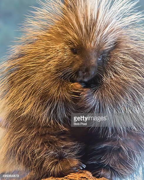 Porcupine sitting on log