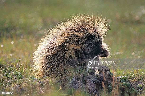 Porcupine (Erethizon dorsatum) Yukon, Canada, North America