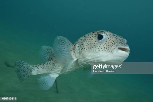 Porcupinefish.