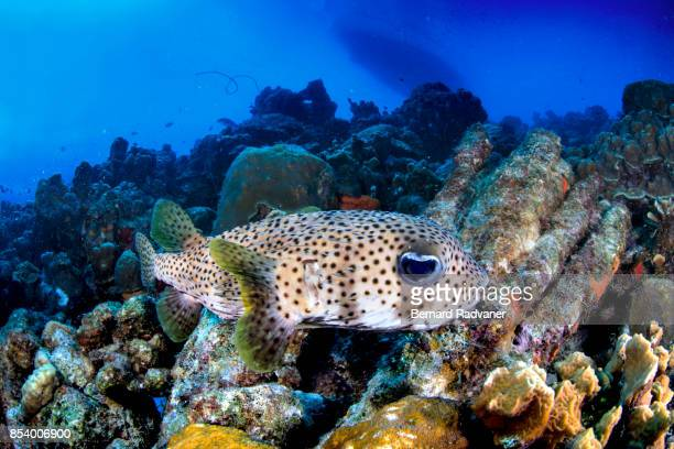 porcupinefish swimming