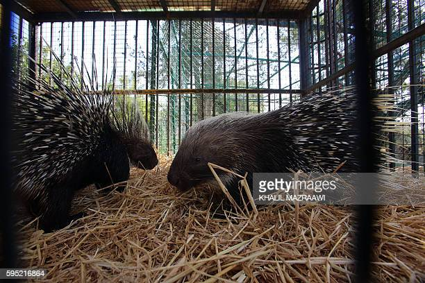 Porcupines sit inside it's enclosure at the New Hope Centre an animal refuge near Amman on August 25 upon their arrival after being evacuated from a...