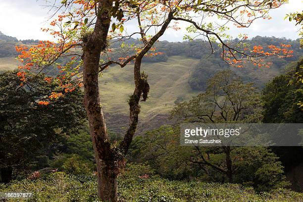 Poro Tree, Costa Rica
