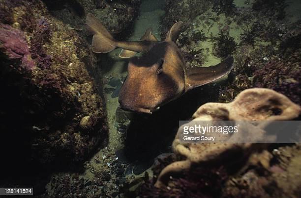 port jackson shark,heterodontus portusjacksoni, swimming, nsw, australia