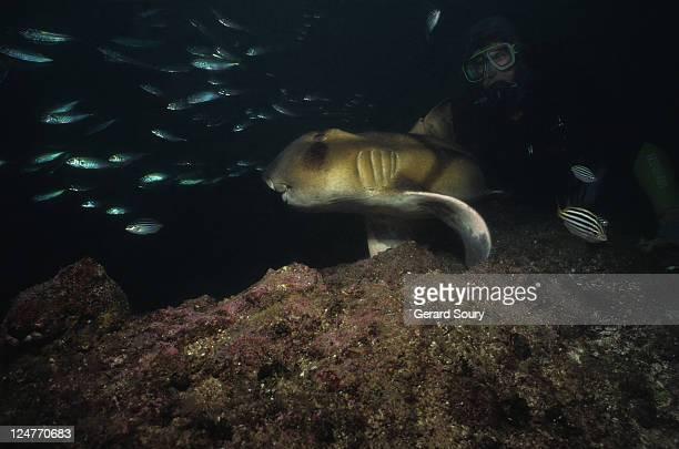 port jackson sharks,heterodontus portusjacksoni,with diver,nsw,australia