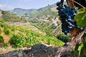 Port wine grapes of the Douro valley