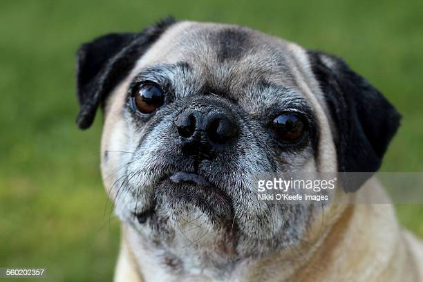 Portait of a pug