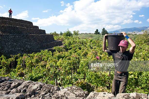 A porters hauld a bucket of grapes of Sicily's top wine consultant Salvo Foti in his vineyard north of Mount Etna near Linguaglossa on December 2...