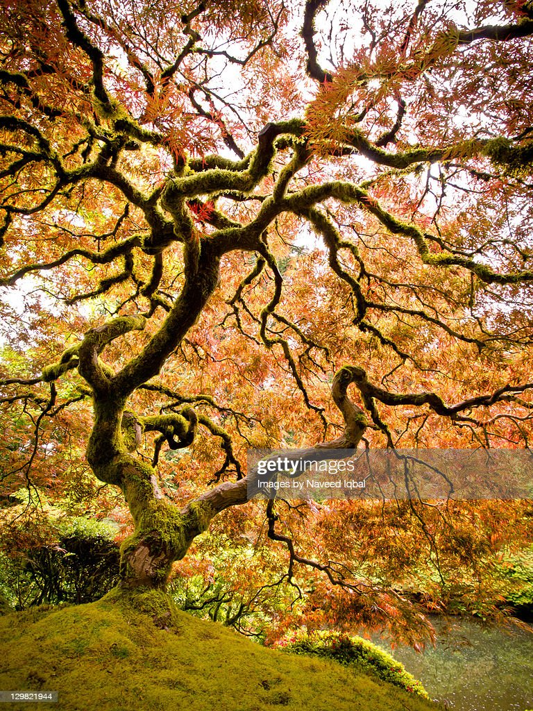 Portland Japanese Garden Maple Tree Stock Photo Getty Images