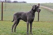 Portrait einer großen blauen deutschen Dogge