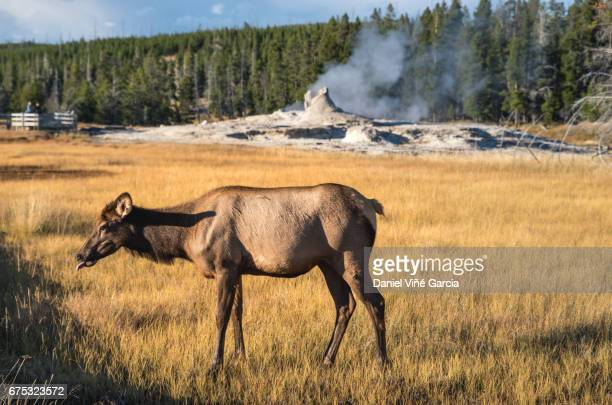 Portrait elk (cervus canadensis) near Grotto Geyser in Upper Geyser Basin, Yellowstone National Park.