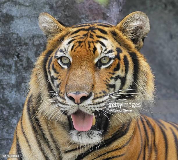 Portrait from a beautiful big sumatran tiger