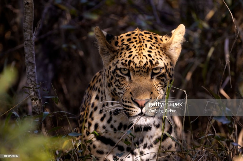 Portrait from an angry male leopard : Stock Photo