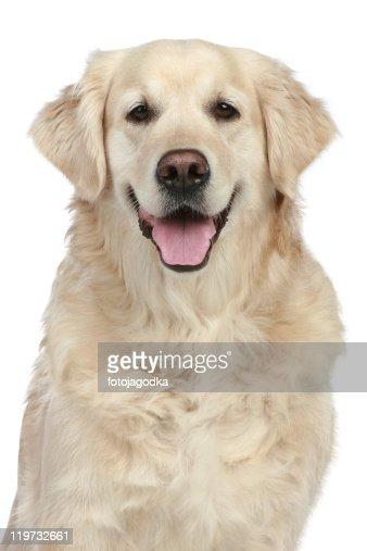 Portrait Golden Retriever : Stock Photo