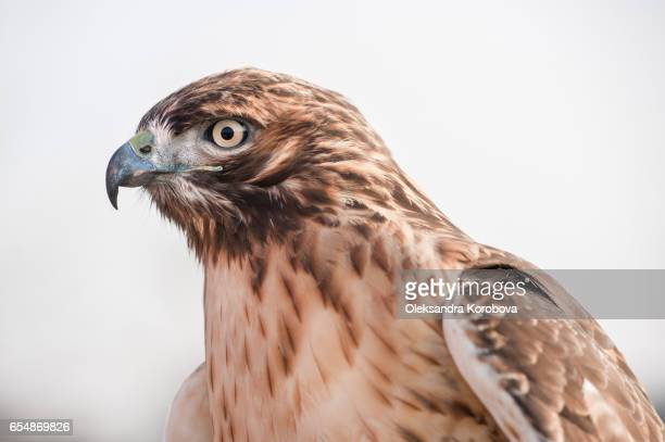 Portrait in profile of a Red Tailed Hawk looking into the distance.