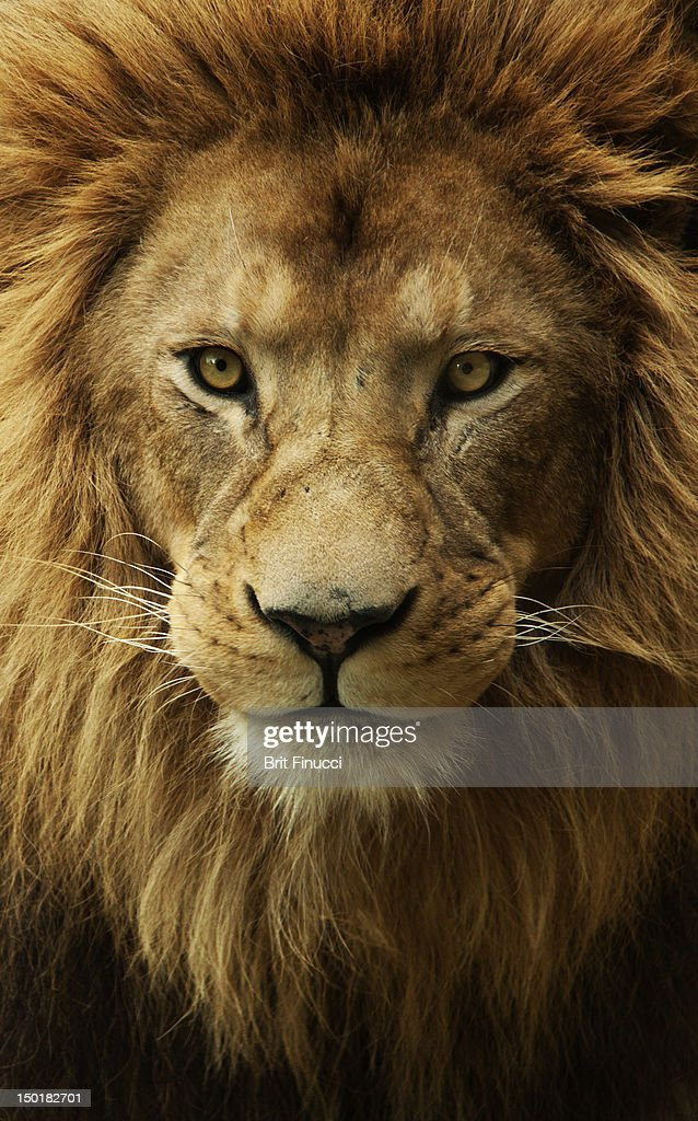 Portrait male African lion : Stock Photo