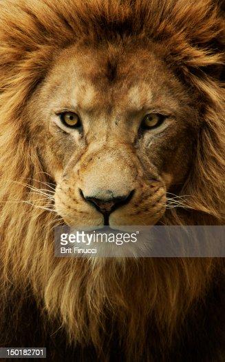 Portrait male African lion