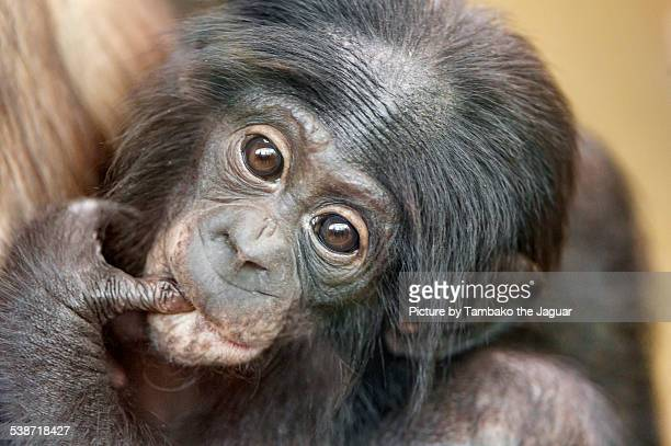 Portrait of a baby bonobo.