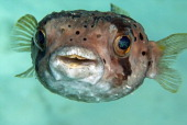 Portrait of a balloonfish Curacao Netherlands Antilles
