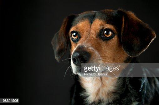 Portrait of a Beagle Dog : Stock Photo