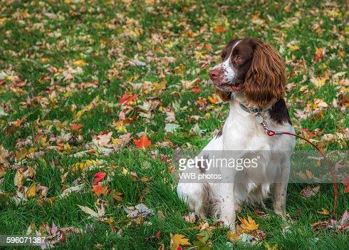 Portrait of a beautiful Springer Spaniel