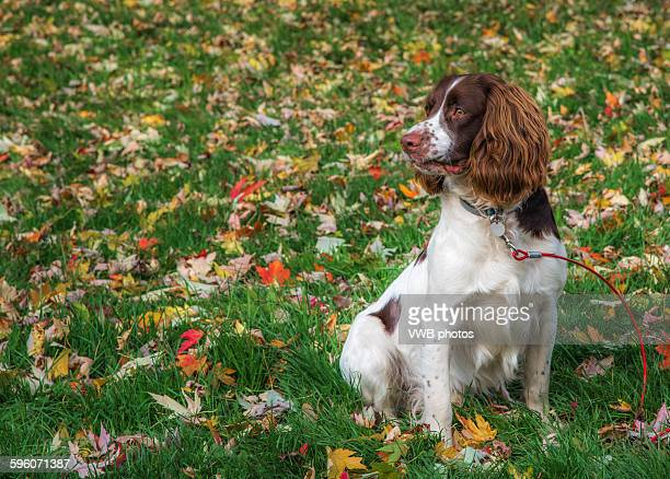 Portrait of a beautiful Springer Spaniel