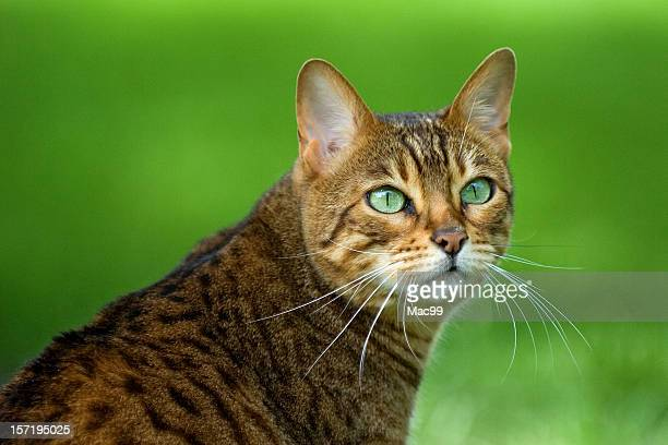 Portrait of a Bengal cat with bright green eyes on grass