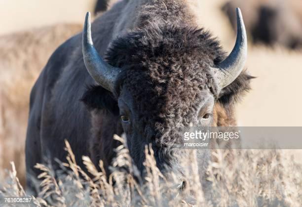 Portrait of a bison, Moran, Grand Teton National Park, Wyoming, America, USA