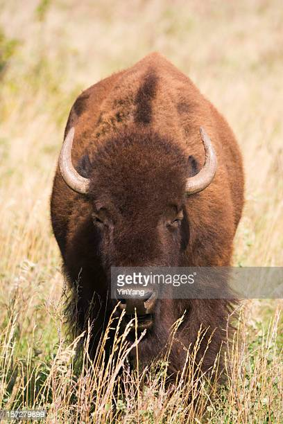 Portrait d'un Bison Vt