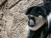 Portrait of a Black and White Colobus Monkey
