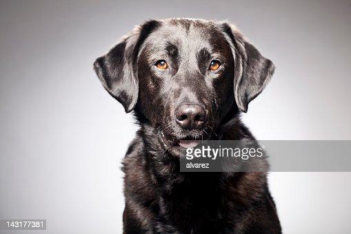 Portrait of a Black Labrador : Stock Photo