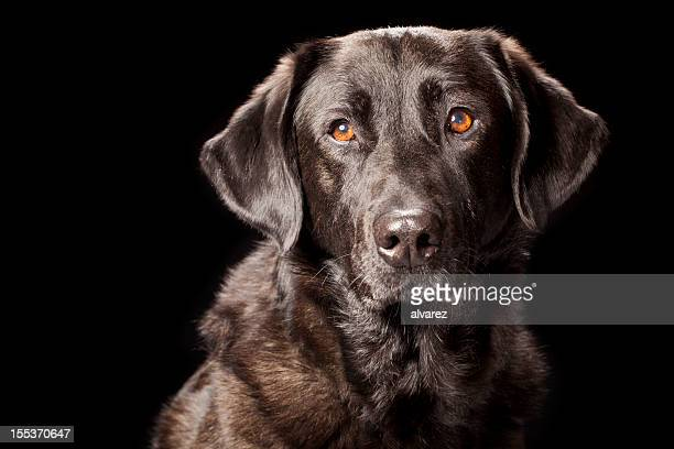 Portrait of a Black Labrador