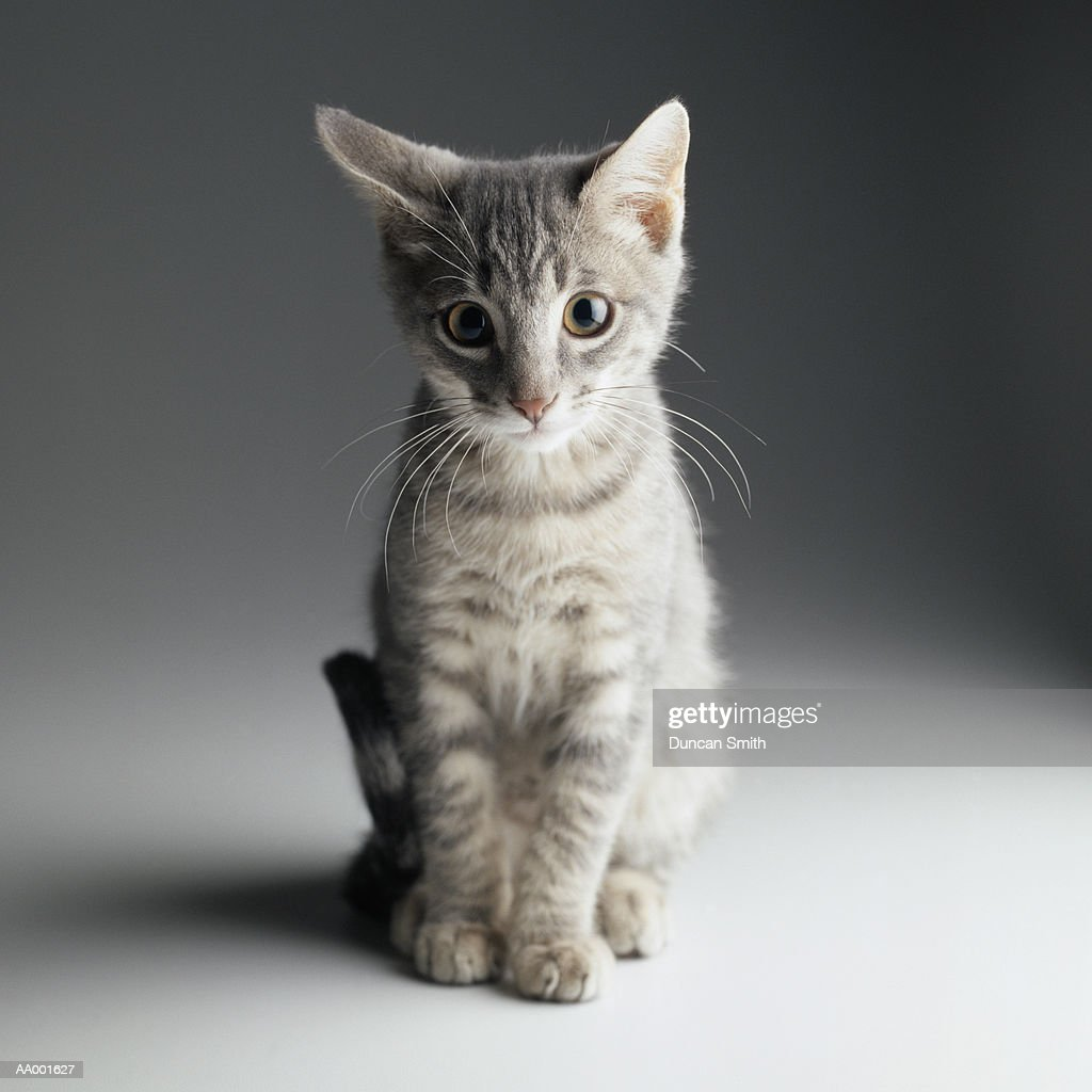 Portrait of a Blue Tabby Kitten : Stock Photo