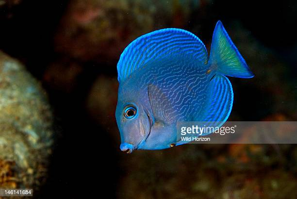 Portrait of a blue tang in the intermediate phase Acanthurus coeruleus Curacao Netherlands Antilles