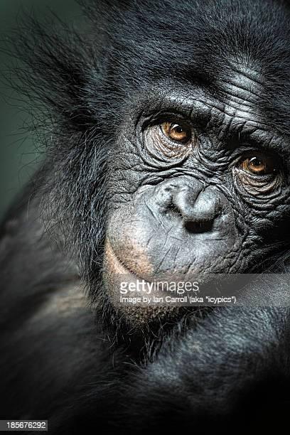 Portrait of A Bonobo Ape