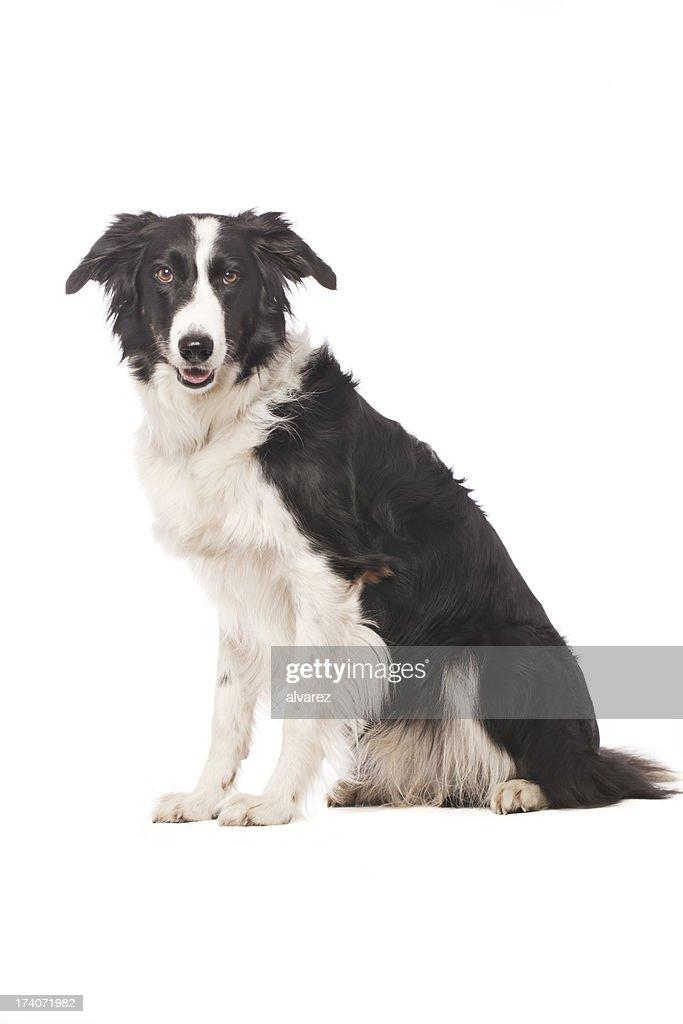Portrait of a Border Collie
