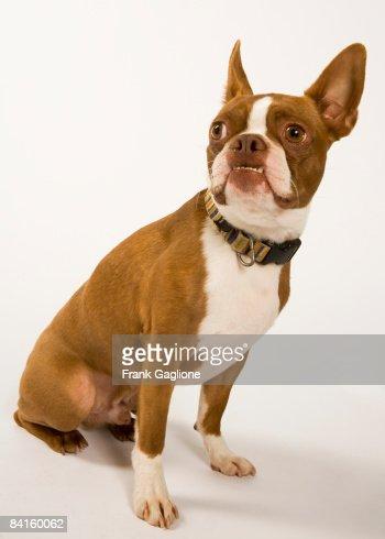 Portrait of a Boston Terrier on white. : Stock Photo
