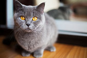 Portrait of a british shorthair cat with expressive orange eyes at home .
