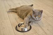 Portrait of a british shorthair cat with expressive blue eyes, that's laying on the floor. She keeps her paw on the plate.