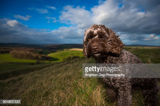 A portrait of a brown Cockapoo dog in the countryside : Stock Photo