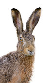 Brown hare portrait isolated on white.