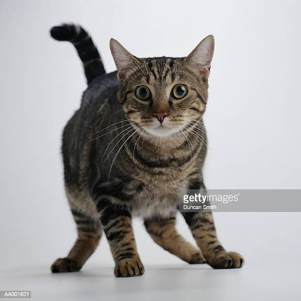 Portrait of a Brown Tabby Cat in Fear