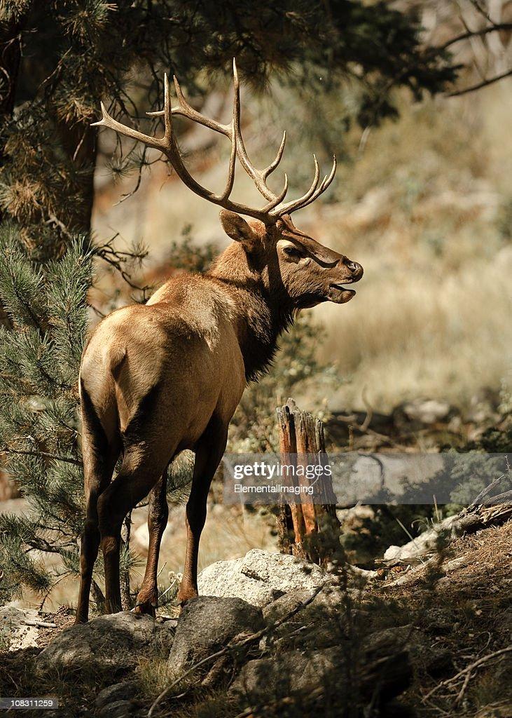 Portrait of a Bull Elk : Stock Photo