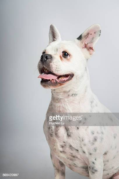 Portrait of a bulldog on white background