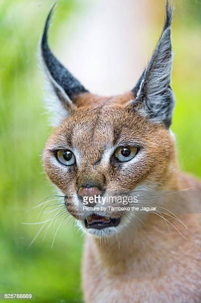Portrait of a caracal