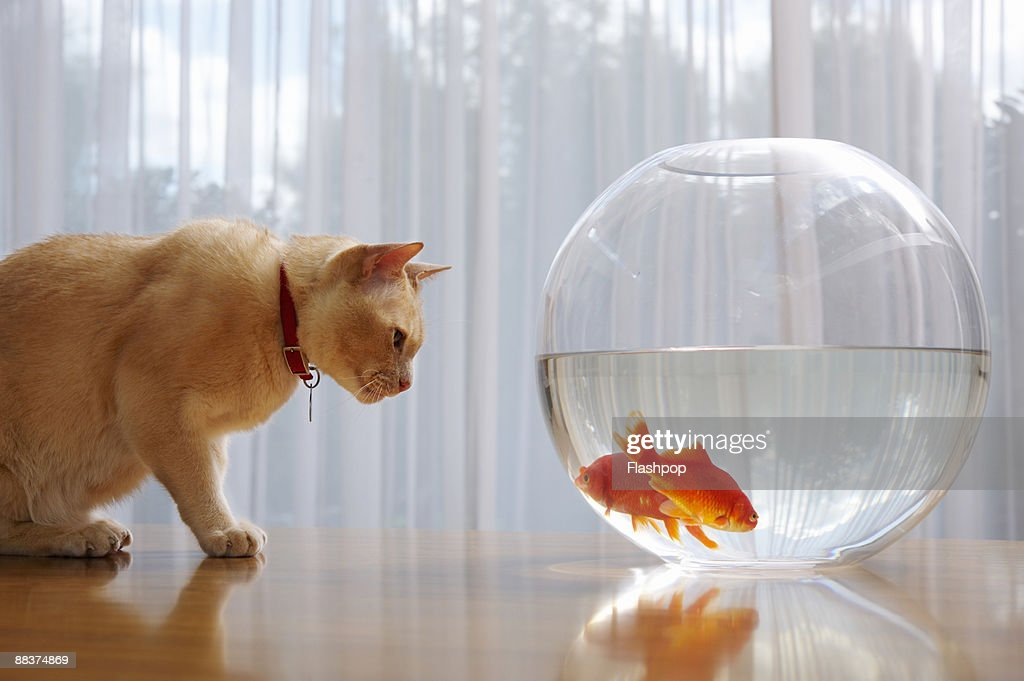 Portrait of a cat staring at goldfish : Stock Photo